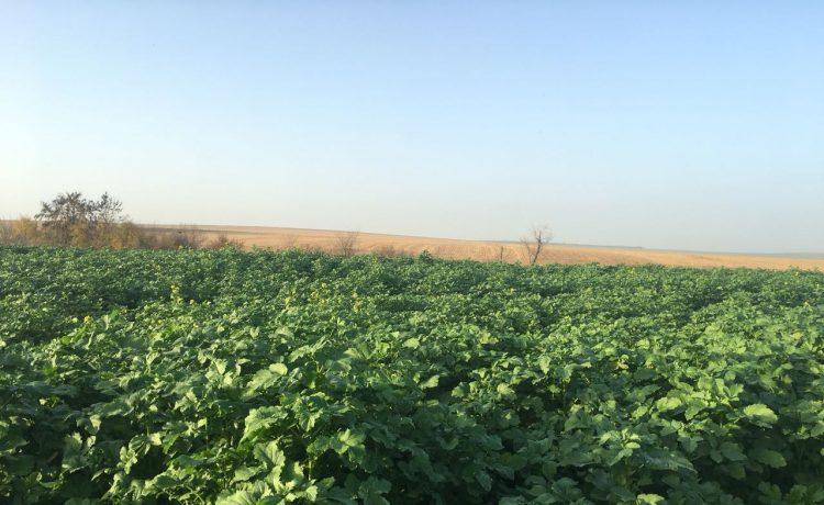 Mеждинните култури – гаранция за силна почва