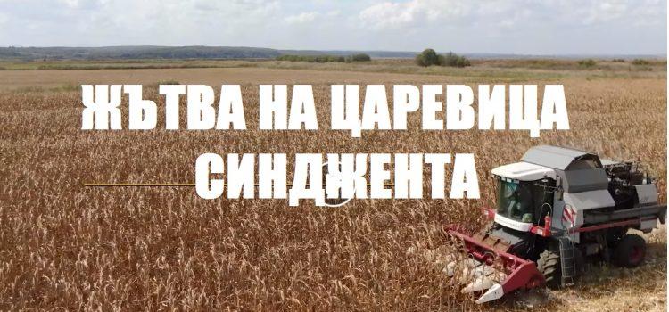 СИ ОРФЕУС - ХИБРИД ОТ ТЕХНОЛОГИЯТА АРТЕЗИАН НА СИНДЖЕНТА