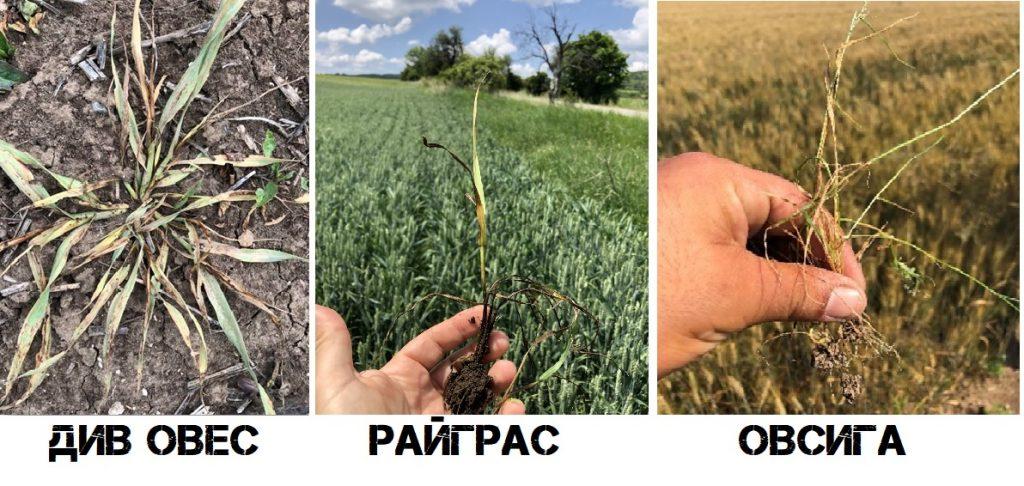 Ефект на Пасифика Експерт срещу житни плевели