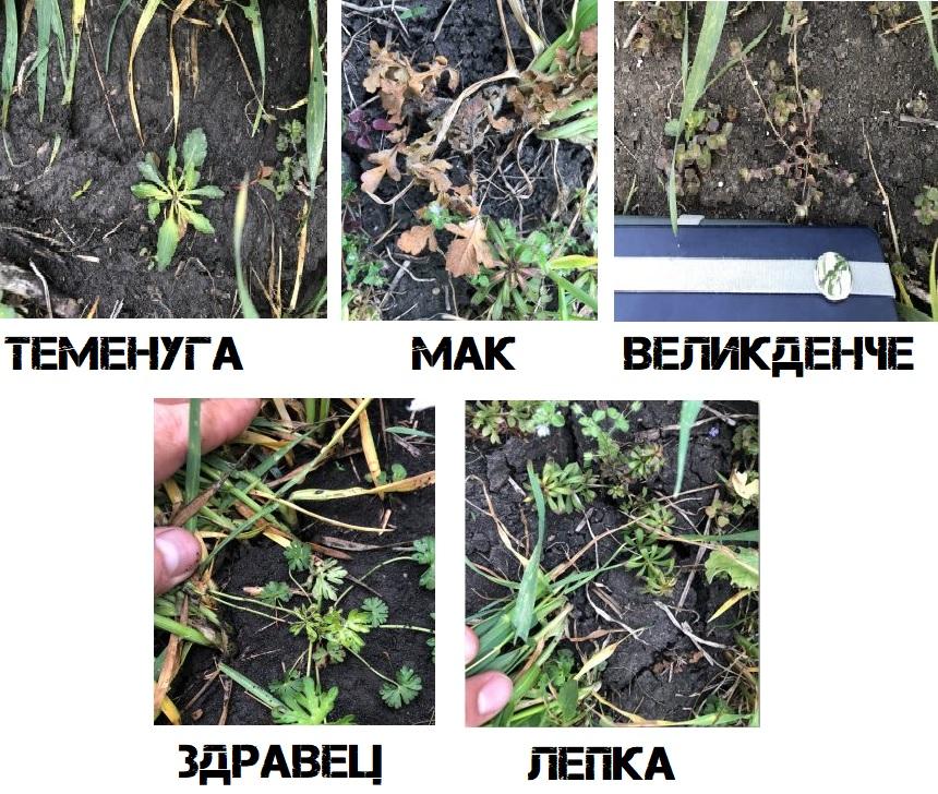 Ефект на Пасифика Експерт срещу широколистни плевели