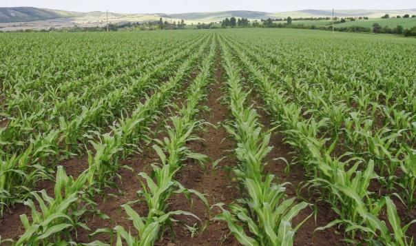 Хербицидни технологии от СИНДЖЕНТА в царевица